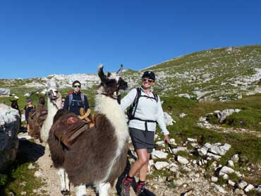 Llamas in the Alps